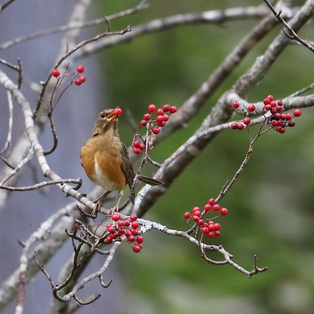 赤い鳥小鳥