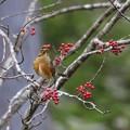 Photos: 赤い鳥小鳥