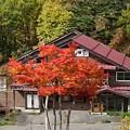 Photos: 紅き白樺