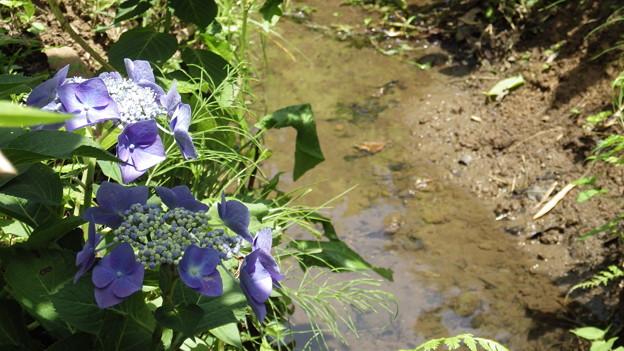 船岡城址公園の紫陽花