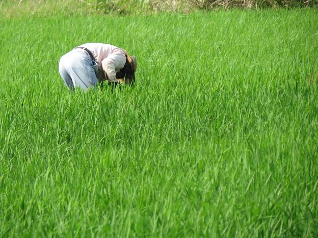 田の草取り