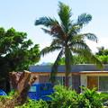 写真: 椰子の木