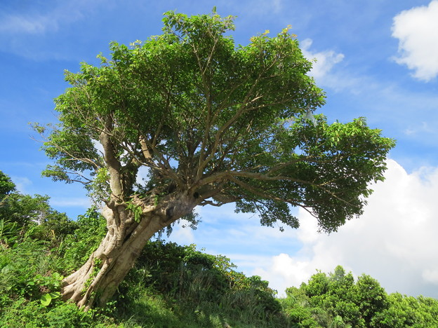 カックいい樹