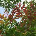 ちょっぴん紅葉