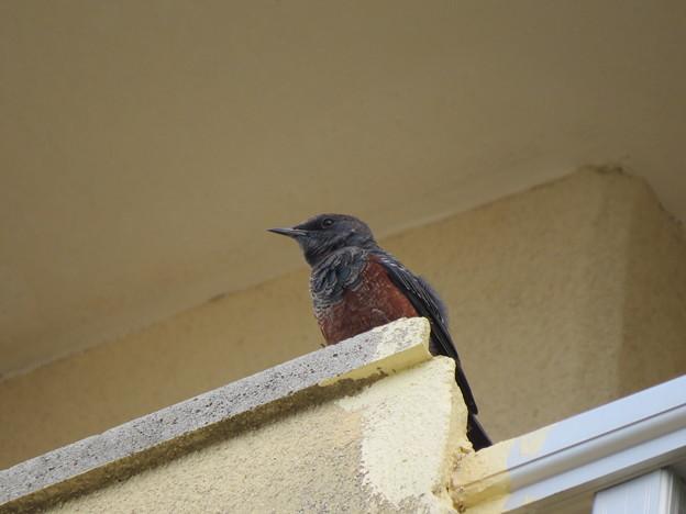 目覚まし鳥