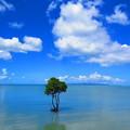 Photos: lonesome mangrove