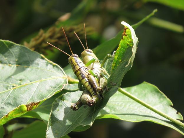 Photos: LoveLove grasshopper