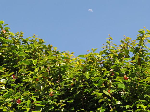 Photos: 月に椿