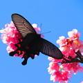 Photos: 桜に蝶