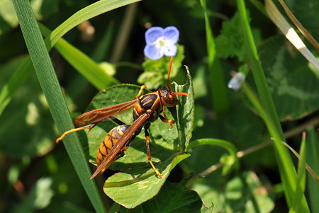 スズメバチ科 セグロアシナガバチ
