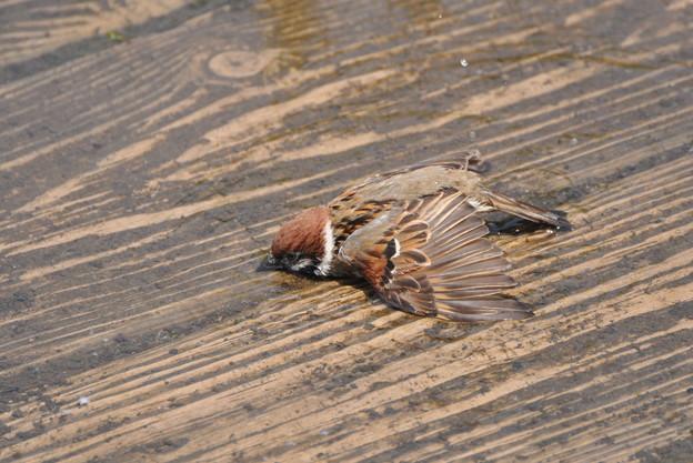 スズメの画像 p1_21