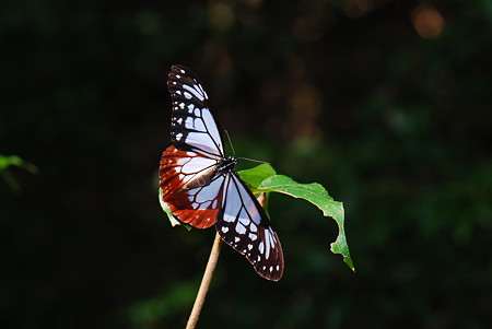 タテハチョウ科 アサギマダラ