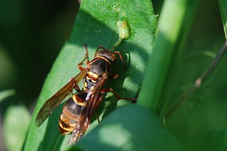 スズメバチ科 コアシナガバチ