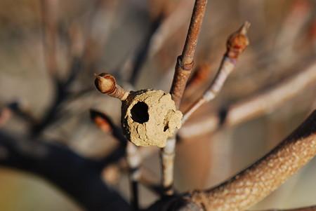 トックリバチの巣?