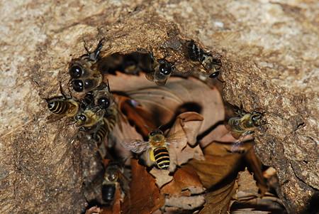 ミツバチ科 ミツバチ