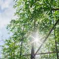 写真: 笹のカーテン