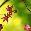 写真: 夏紅葉~~