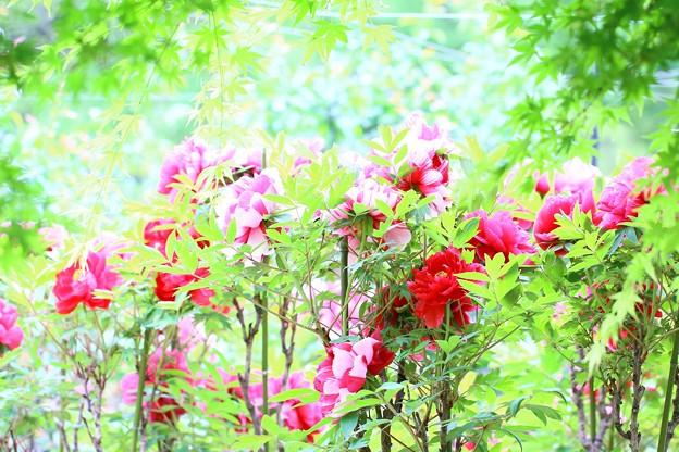 写真: 若葉と牡丹と~