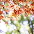 写真: モミジも花盛り~~