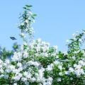 写真: 梅花空木と・・・