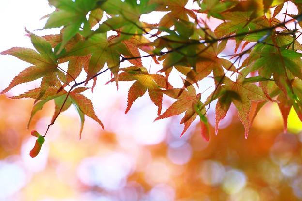 写真: 夏紅葉