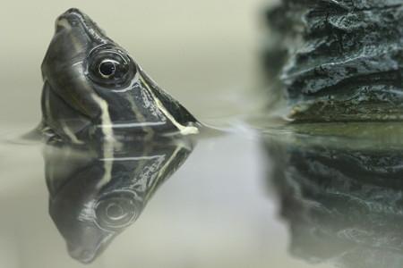 ミシシッピニオイガメ