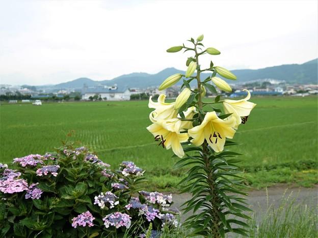 ユリと紫陽花