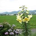 写真: ユリと紫陽花