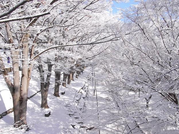 真冬のケヤキ並木。