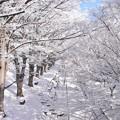 写真: 真冬のケヤキ並木。