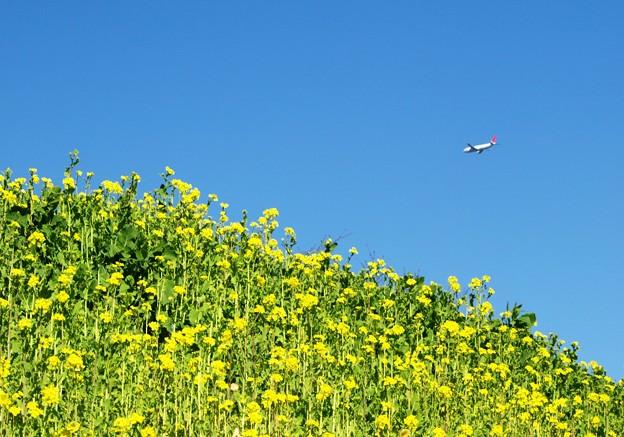 菜の花の丘。