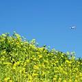 写真: 菜の花の丘。