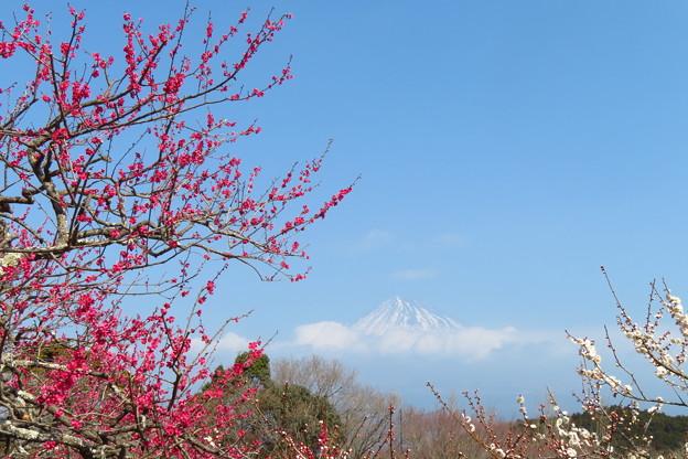 紅梅咲き伸びて。