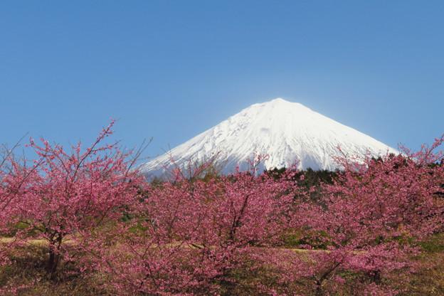 カンザクラ咲く丘。