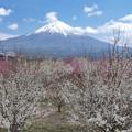 写真: 梅の木、勢いよく。