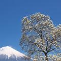 Photos: 白き木蓮。