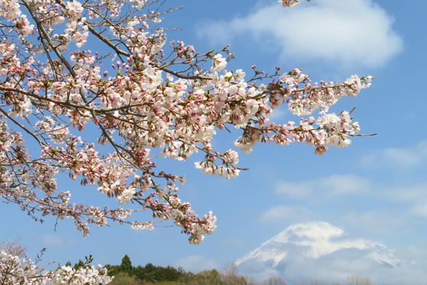咲き始めた桜と春の雲。