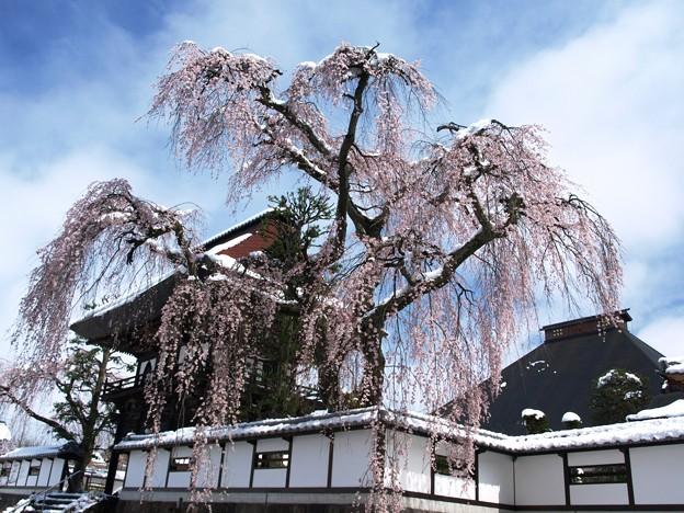 お寺の枝垂桜、雪かかり。