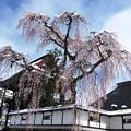 写真: お寺の枝垂桜、雪かかり。