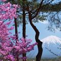 鳴沢村のツツジ咲く。