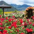 写真: 賑うバラの花園。
