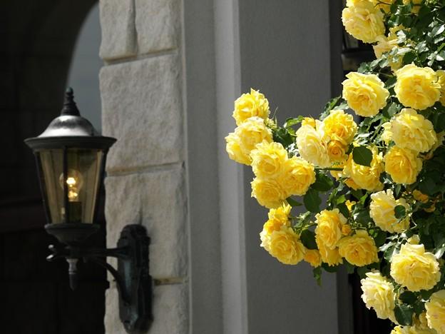 黄バラとランプ。