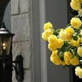 写真: 黄バラとランプ。