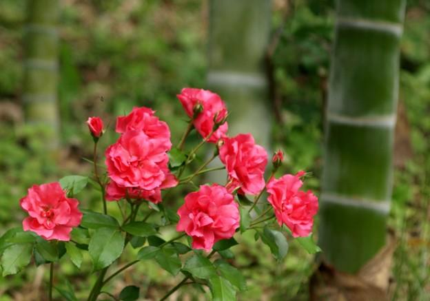 赤バラと竹。