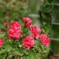 写真: 赤バラと竹。