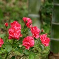 Photos: 赤バラと竹。