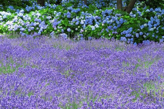 ラベンダーと紫陽花と。