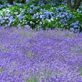 写真: ラベンダーと紫陽花と。
