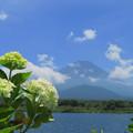 写真: お上品に白紫陽花。