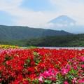 西湖のお花畑。